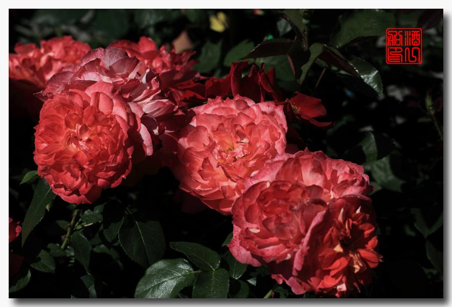 《原创摄影》:娇羞玫瑰满园香_图1-6
