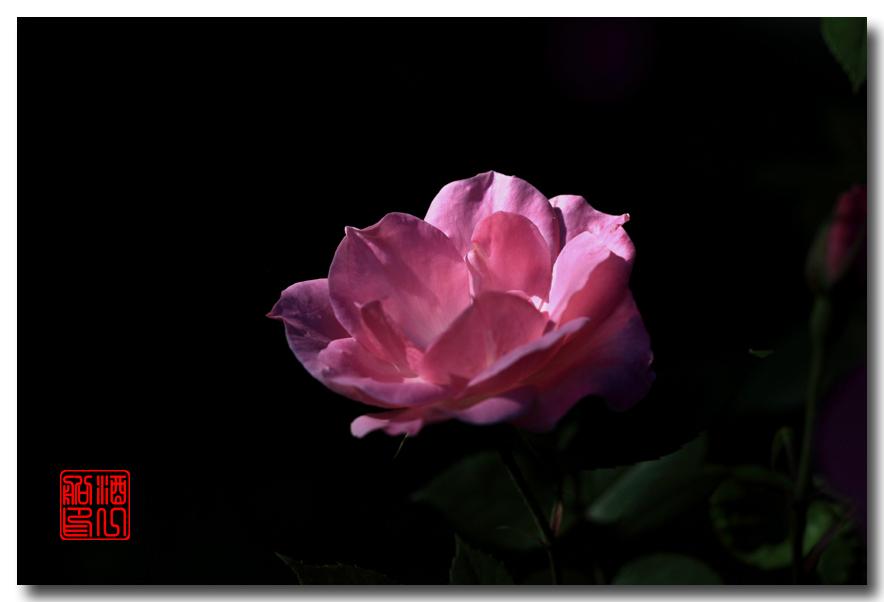 《原创摄影》:娇羞玫瑰满园香_图1-9