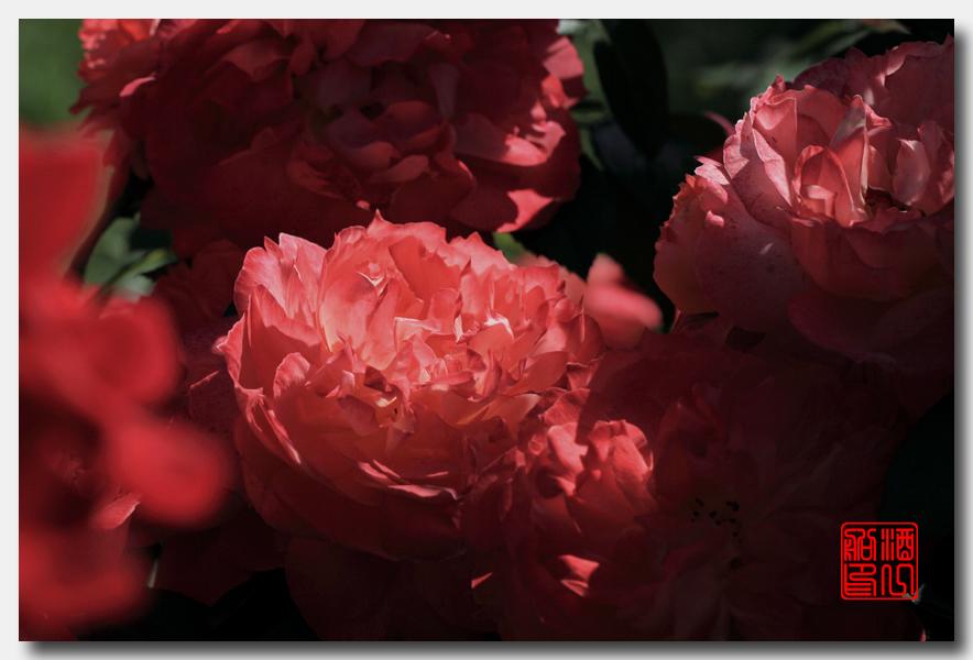 《原创摄影》:娇羞玫瑰满园香_图1-10