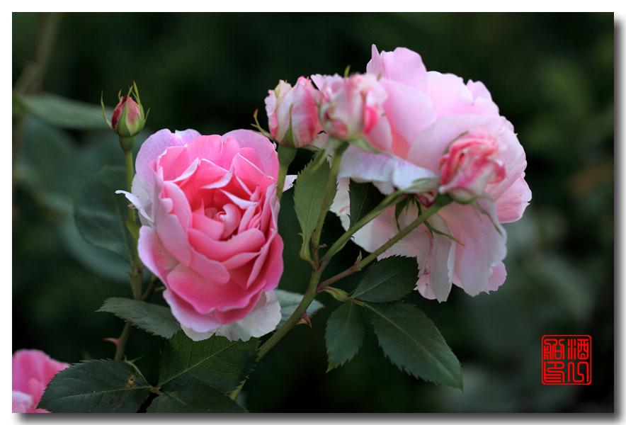 《原创摄影》:娇羞玫瑰满园香_图1-11