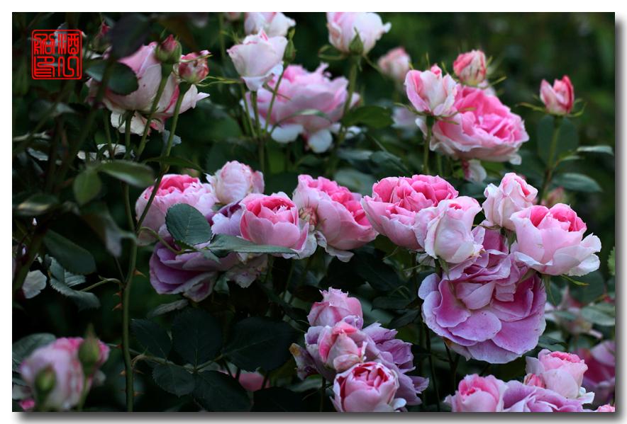 《原创摄影》:娇羞玫瑰满园香_图1-14