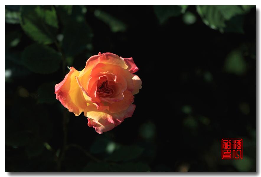 《原创摄影》:娇羞玫瑰满园香_图1-12