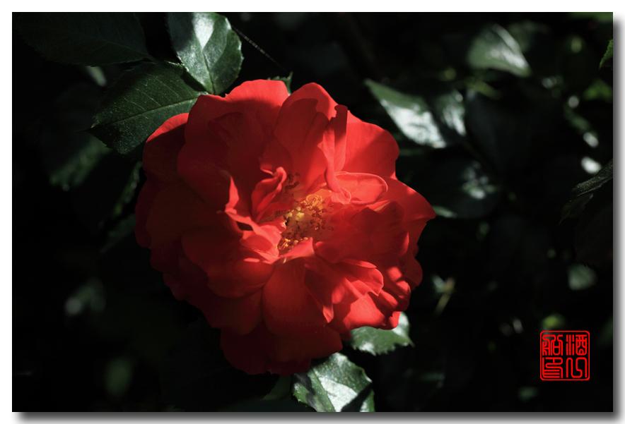 《原创摄影》:娇羞玫瑰满园香_图1-13