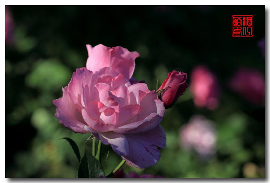 《原创摄影》:娇羞玫瑰满园香_图1-15