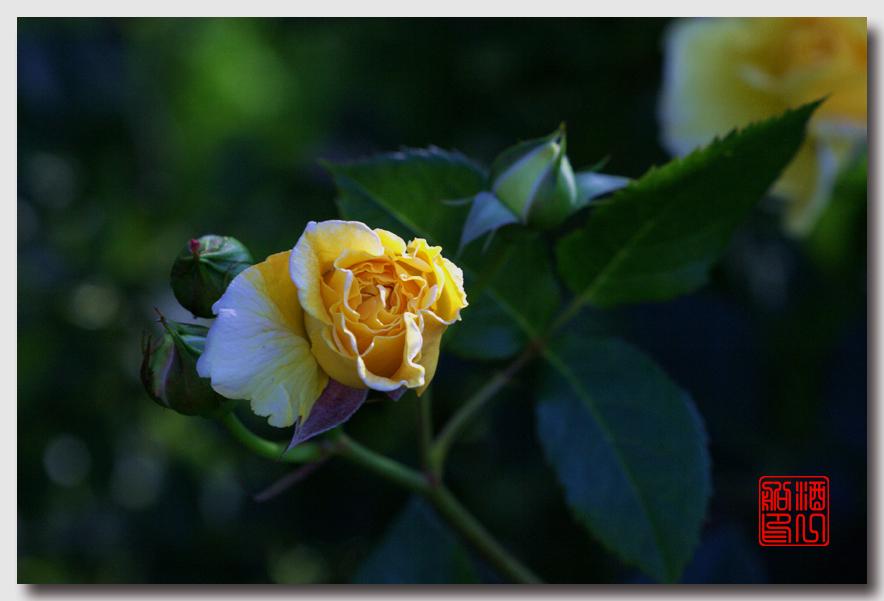《原创摄影》:娇羞玫瑰满园香_图1-17