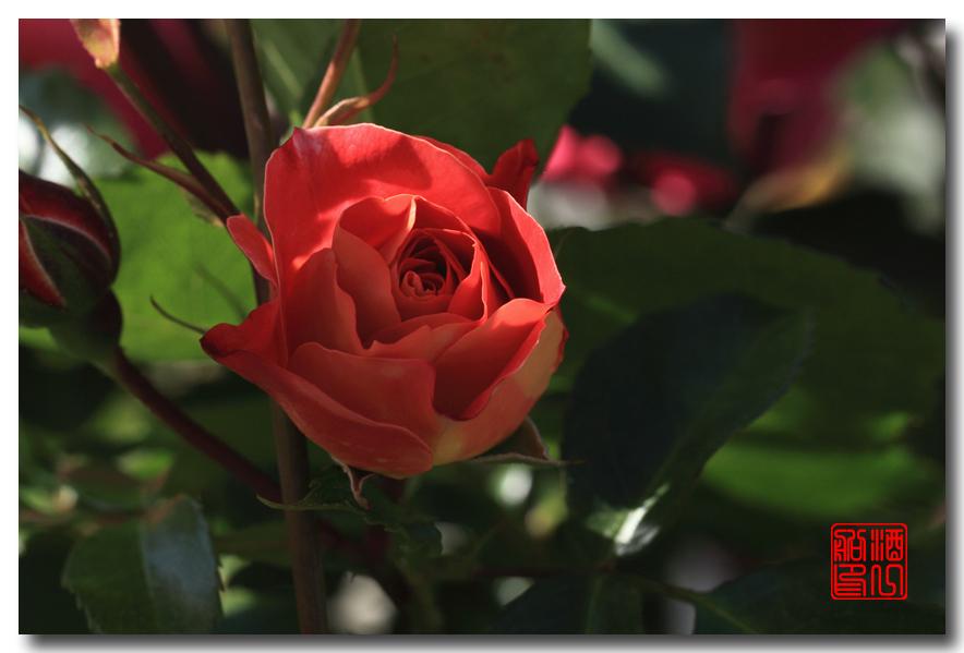 《原创摄影》:娇羞玫瑰满园香_图1-18