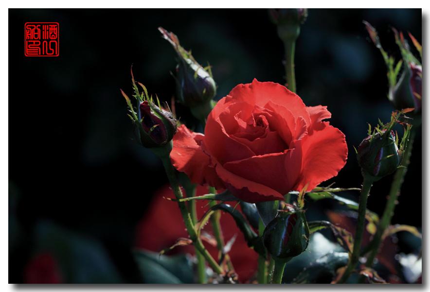 《原创摄影》:娇羞玫瑰满园香_图1-19