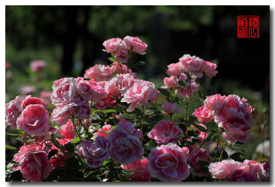 《原创摄影》:娇羞玫瑰满园香_图1-20