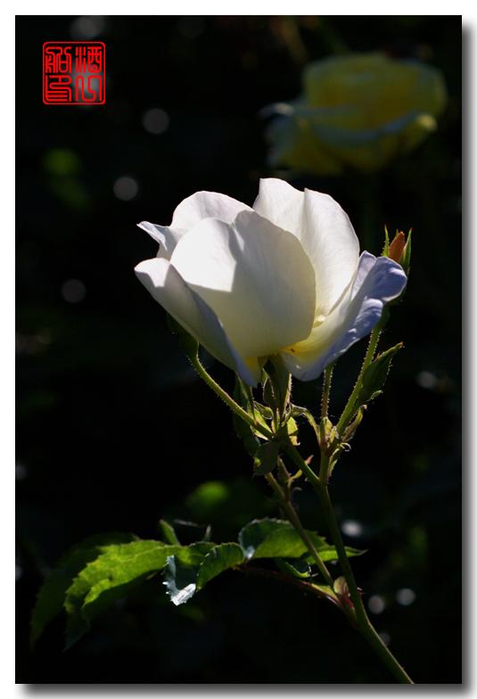 《原创摄影》:娇羞玫瑰满园香_图1-22
