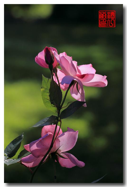 《原创摄影》:娇羞玫瑰满园香_图1-23