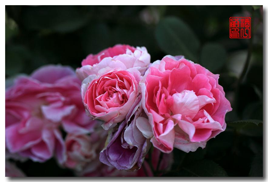 《原创摄影》:娇羞玫瑰满园香_图1-24