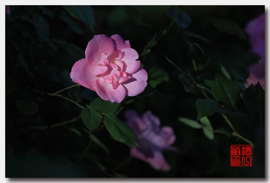 《原创摄影》:娇羞玫瑰满园香_图1-25