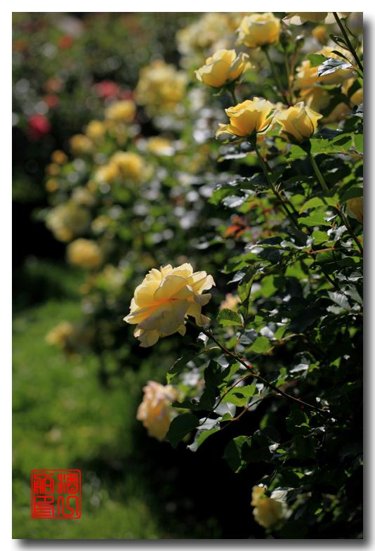 《原创摄影》:娇羞玫瑰满园香_图1-26