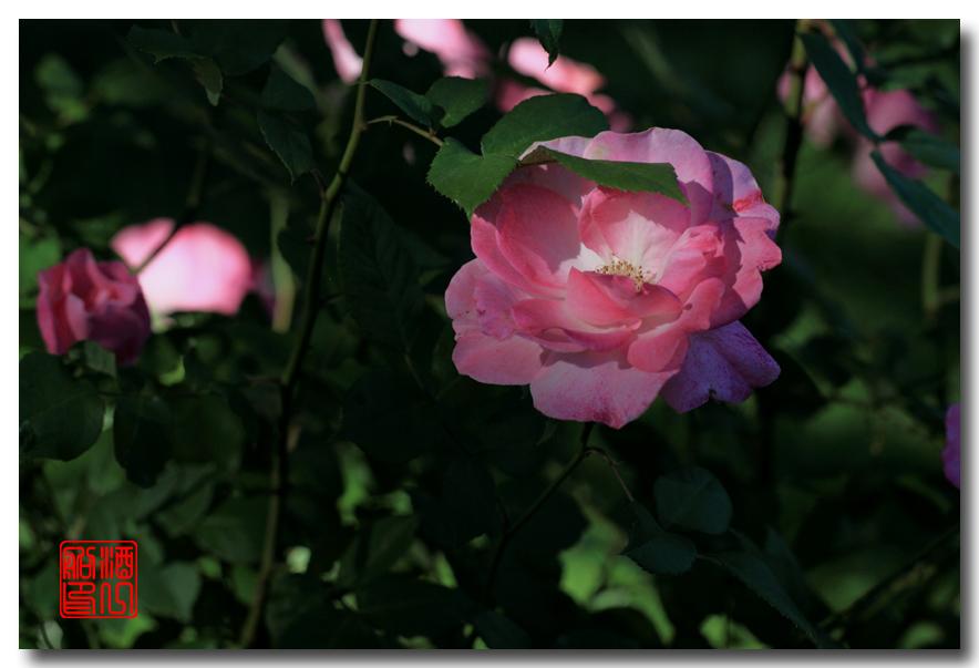 《原创摄影》:娇羞玫瑰满园香_图1-27