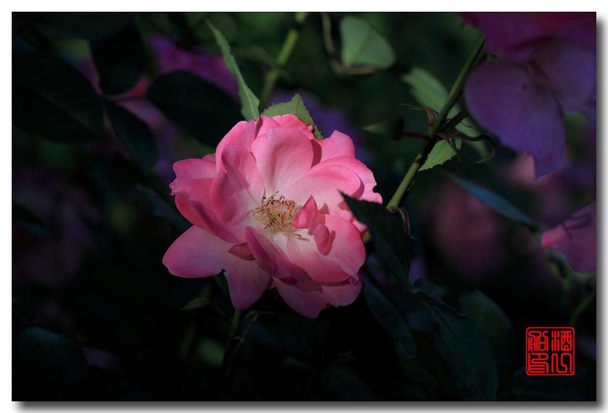 《原创摄影》:娇羞玫瑰满园香_图1-28