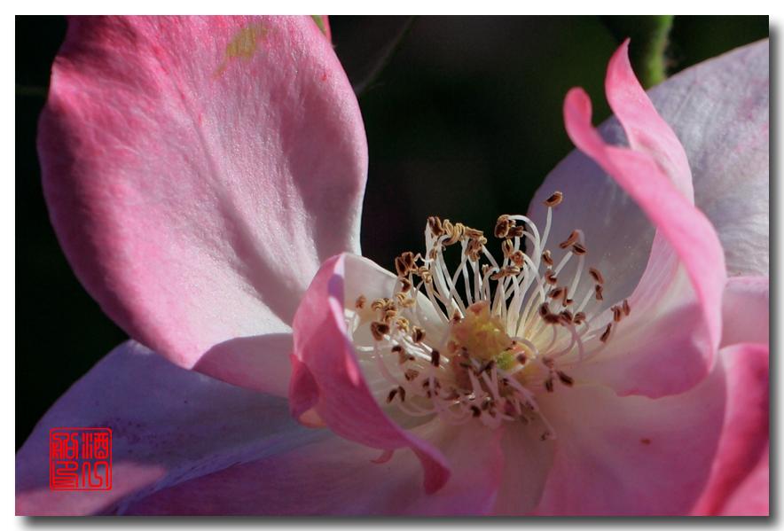 《原创摄影》:娇羞玫瑰满园香_图1-29