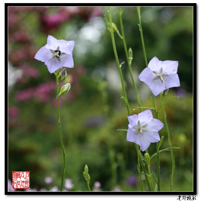 【心想事成】雨后的花朵_图1-10