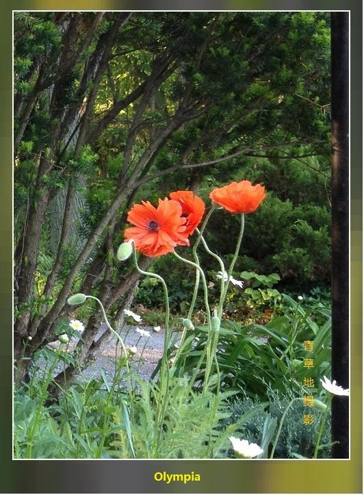 两组罂粟科的花儿_图1-1