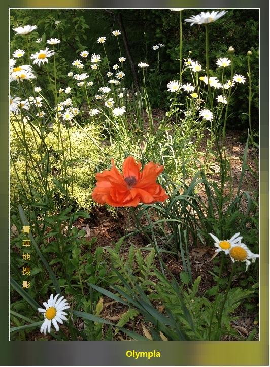 两组罂粟科的花儿_图1-2