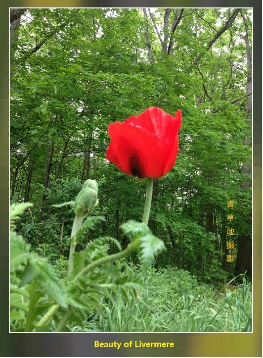 两组罂粟科的花儿_图1-3