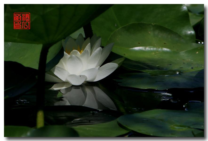 《原创摄影》:湖中的白莲_图1-15