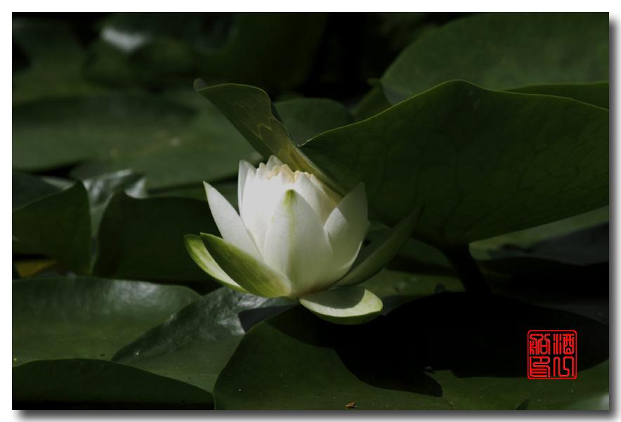 《原创摄影》:湖中的白莲_图1-5