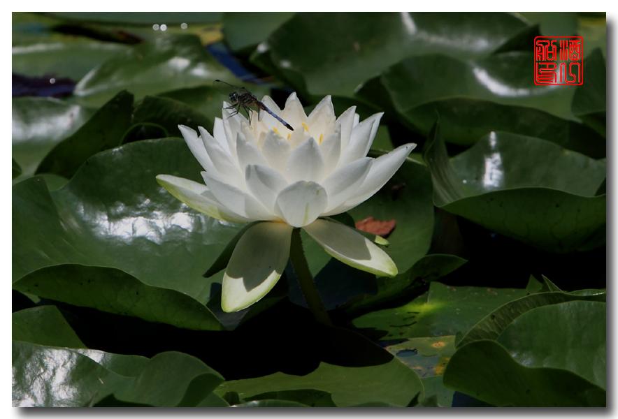 《原创摄影》:湖中的白莲_图1-2