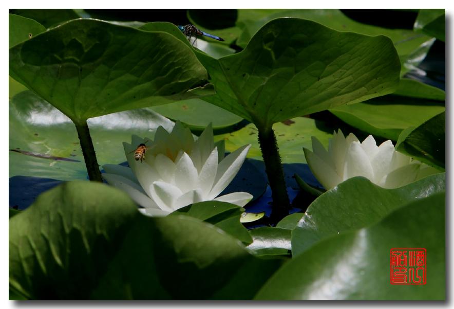 《原创摄影》:湖中的白莲_图1-3