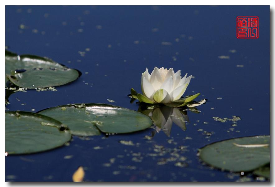 《原创摄影》:湖中的白莲_图1-4