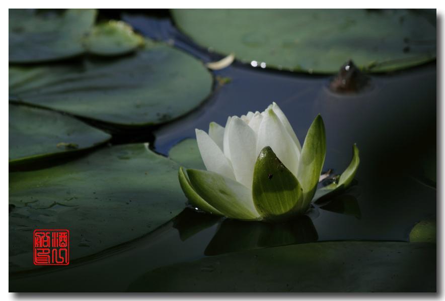 《原创摄影》:湖中的白莲_图1-8