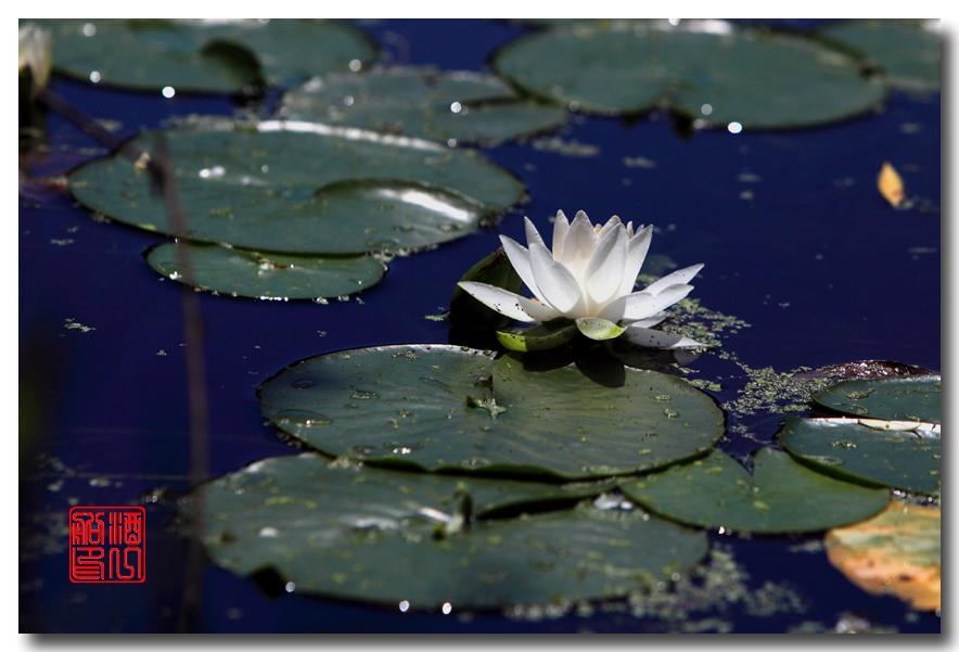 《原创摄影》:湖中的白莲_图1-9