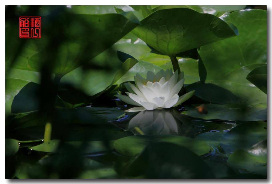 《原创摄影》:湖中的白莲_图1-11