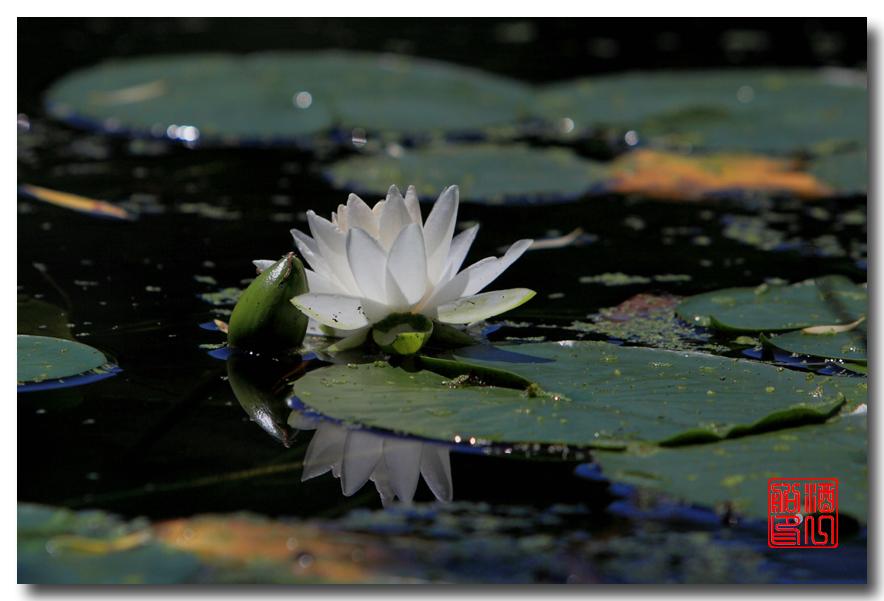 《原创摄影》:湖中的白莲_图1-13