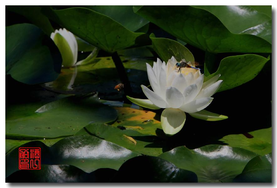 《原创摄影》:湖中的白莲_图1-14
