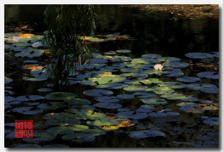 《原创摄影》:湖中的白莲_图1-1