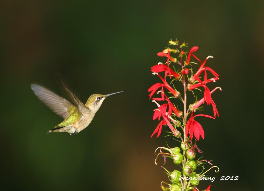 蜂鸟2012_图1-5