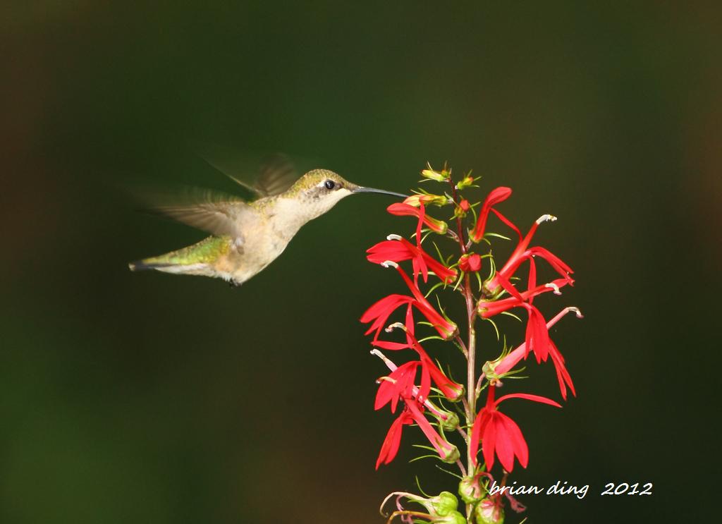 蜂鸟2012_图1-4