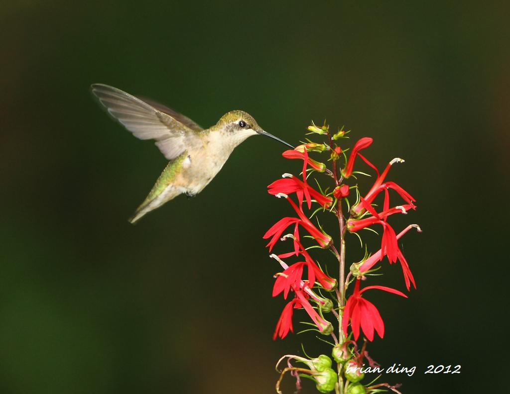 蜂鸟2012_图1-3