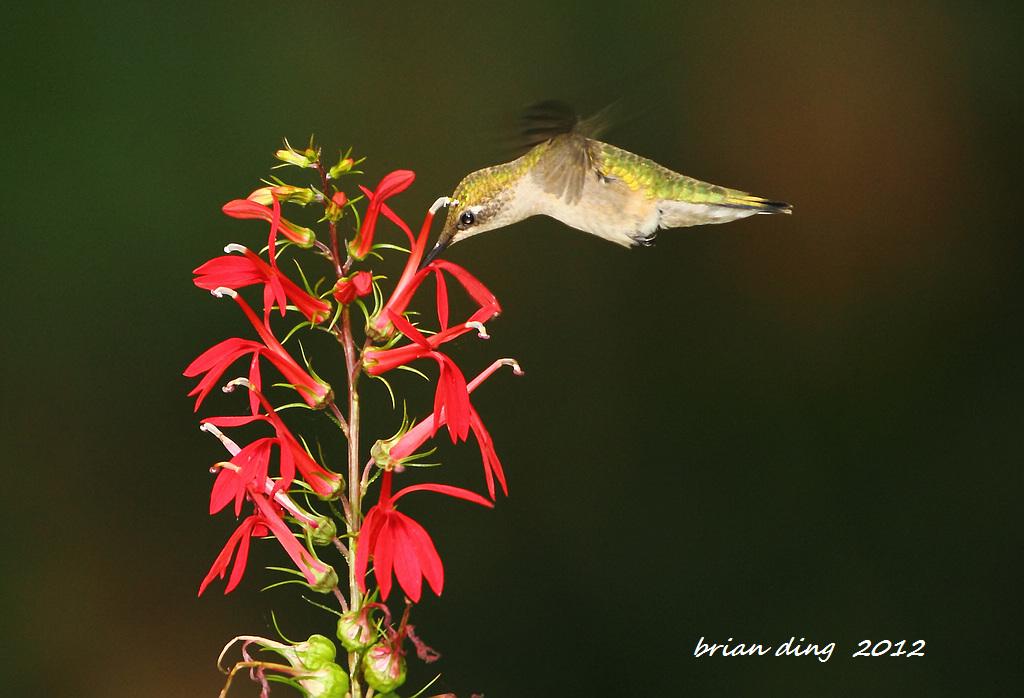 蜂鸟2012_图1-2