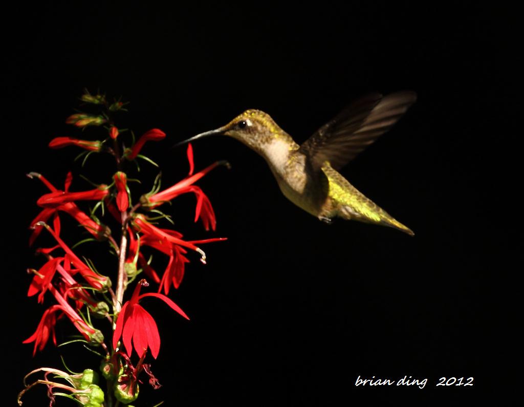 蜂鸟2012_图1-1