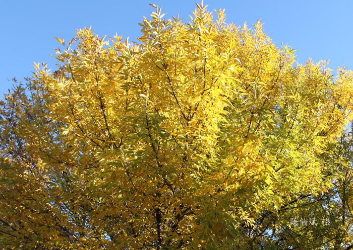 秋树,一棵也灿烂_图1-2