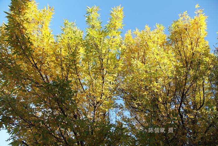 秋树,一棵也灿烂_图1-3