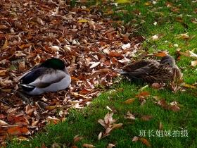 鸭鸭也知秋?班长周日闲拍