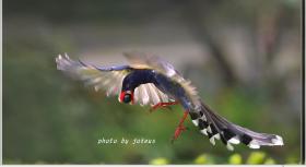 臺灣國寶藍鵲:拍成這樣厲害!