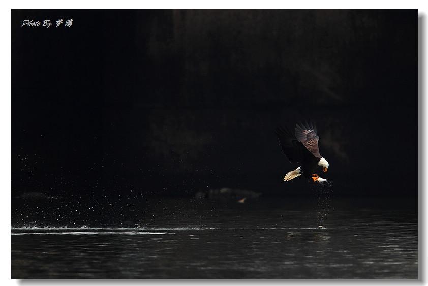 """[智凯诗画配]【风之影】""""鹰""""姿飒爽  【畅之原创】白头鹰归来之歌 (美西纪游十四行组诗17) - 畅之 - 智凯书屋"""
