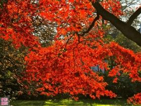 清晨、红枫、光影、秋色!