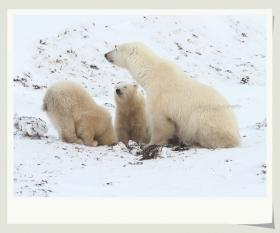 【小虫摄影】实拍北极熊宝宝--