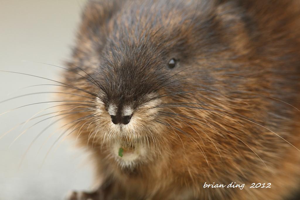 偶遇麝鼠---Muskrat_图1-1
