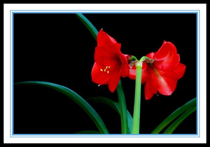 """娇艳迷人、深沉、庄重之美的""""对红花""""_图1-1"""