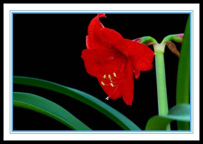 """娇艳迷人、深沉、庄重之美的""""对红花""""_图1-2"""